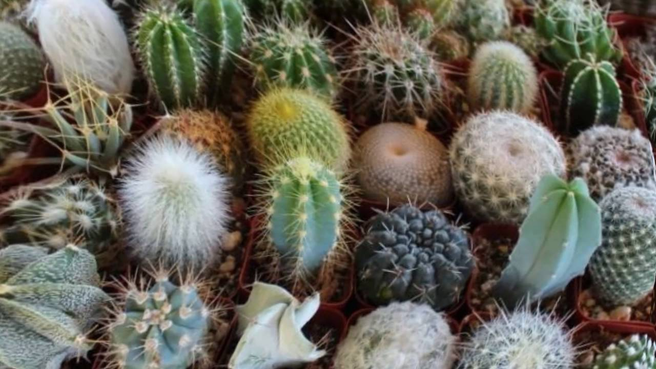 Как пересаживать кактус