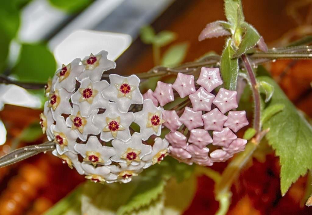 Как посадить плющ на участке — Цветок домашний