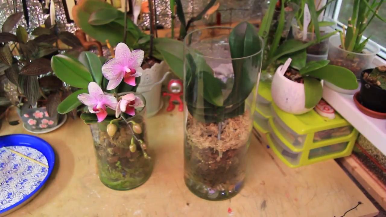 Как обрезать отросток у орхидеи