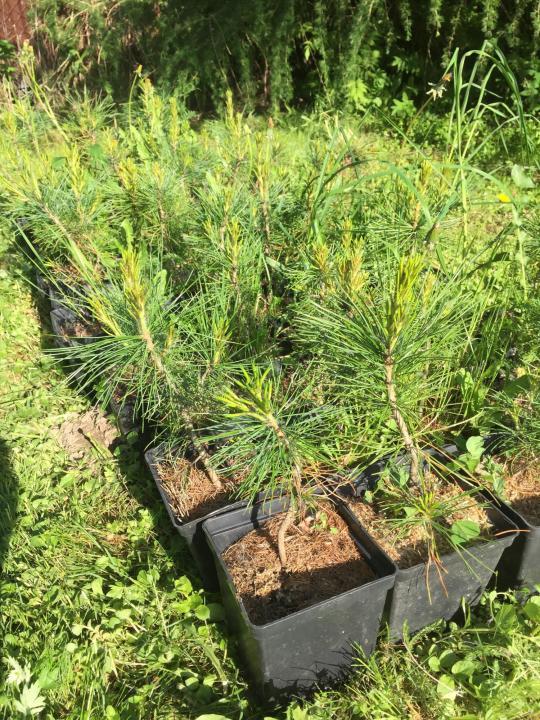 Как вырастить кедр из орешка в домашних условиях 24 фото Как посадить семена Пошаговое выращивание ростка из шишки