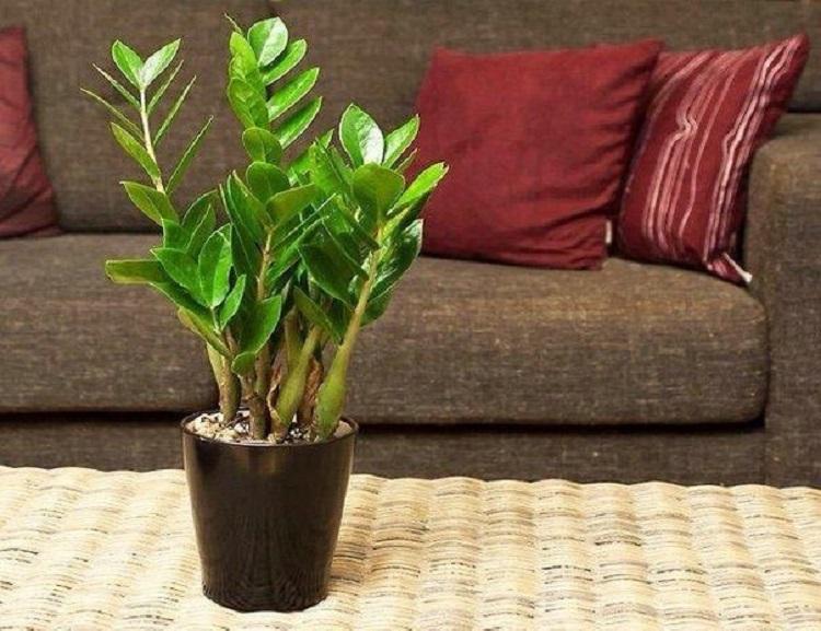 Как цветет долларовое дерево: ядовитый или нет, и можно ли держать его дома