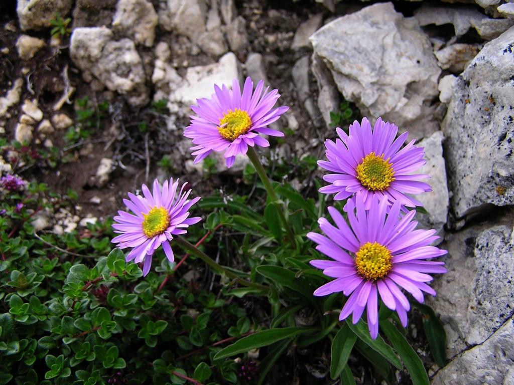 Многолетняя альпийская астра: описание сортов, особенности посадки и ухода