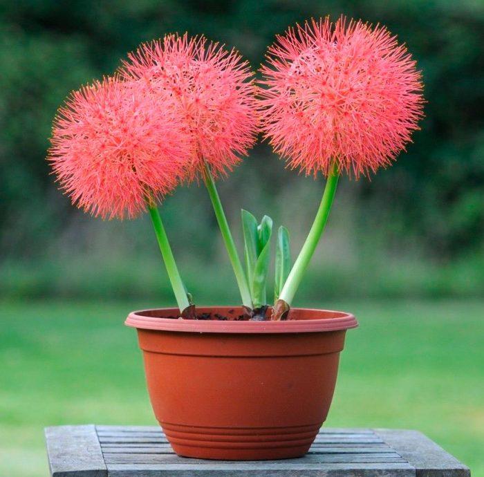 Красный цветок с луковицей
