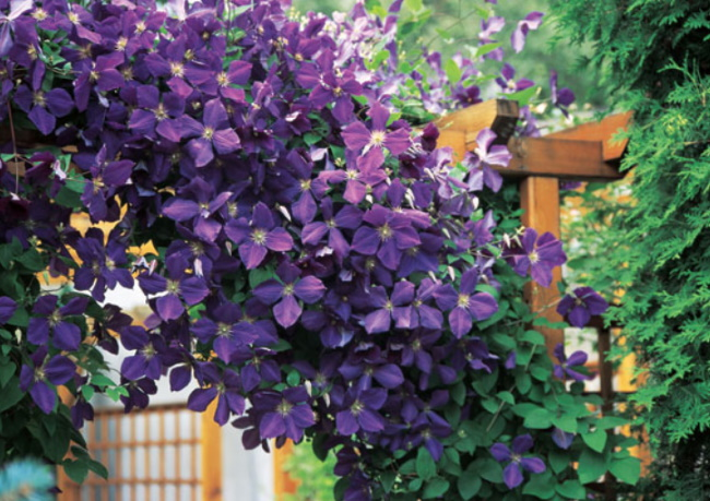 Чем весной подкормить клематис в саду для пышного цветения