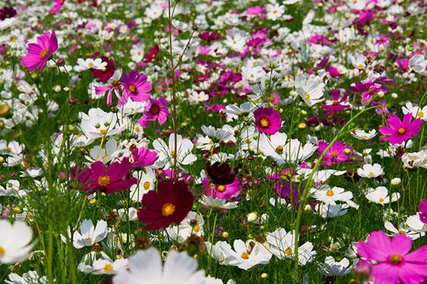 Космея шоколадная 24 фото описание многолетнего цветка выращивание из семян посадка и уход