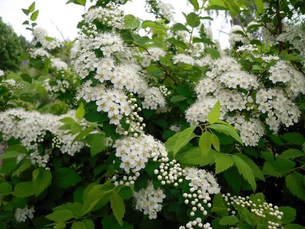 Как называется кустарник с белыми листьями