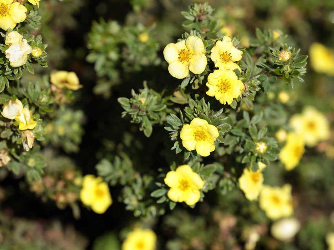 Цветок пятилистник