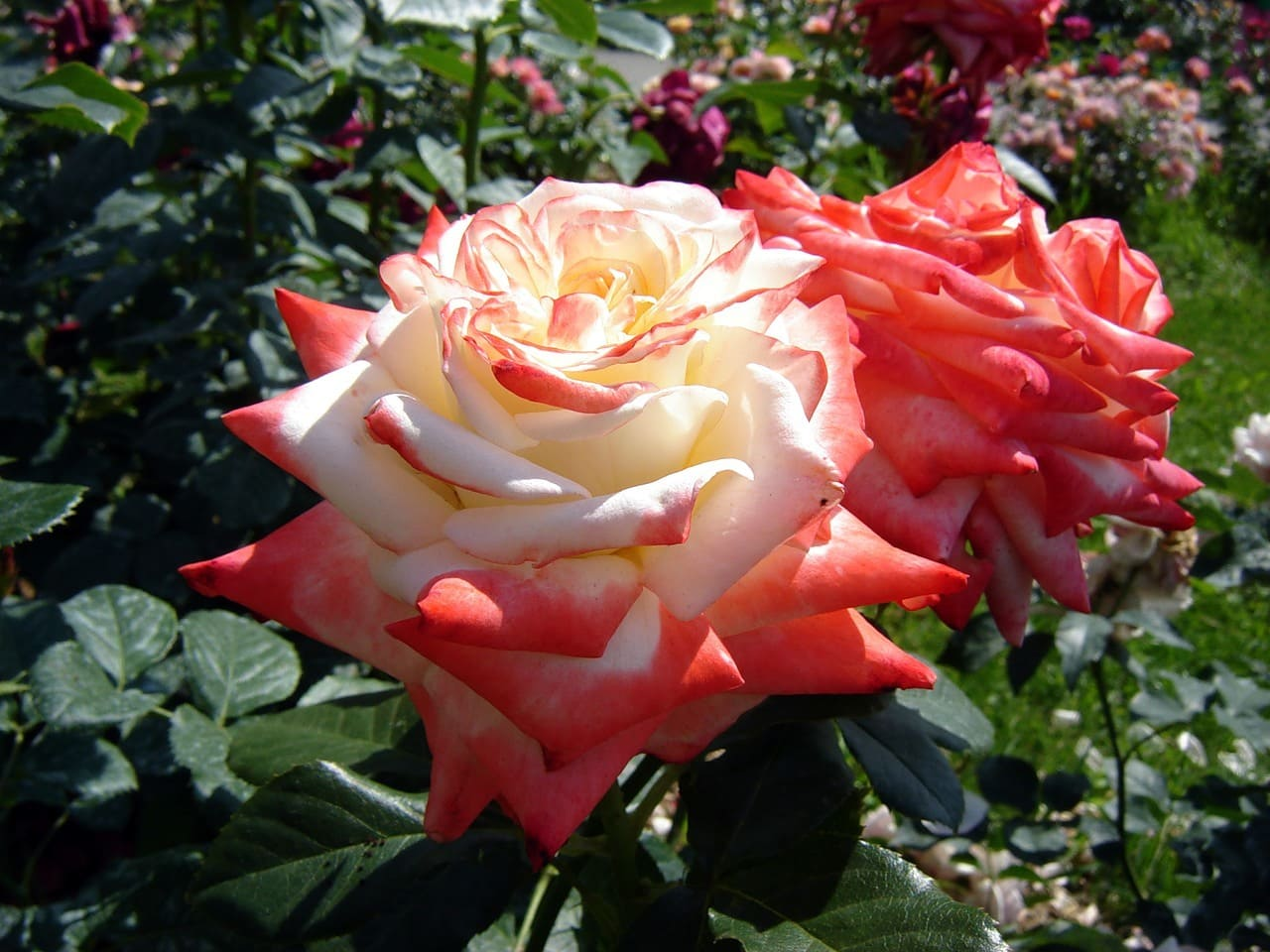 роза фото цветы описание обуви