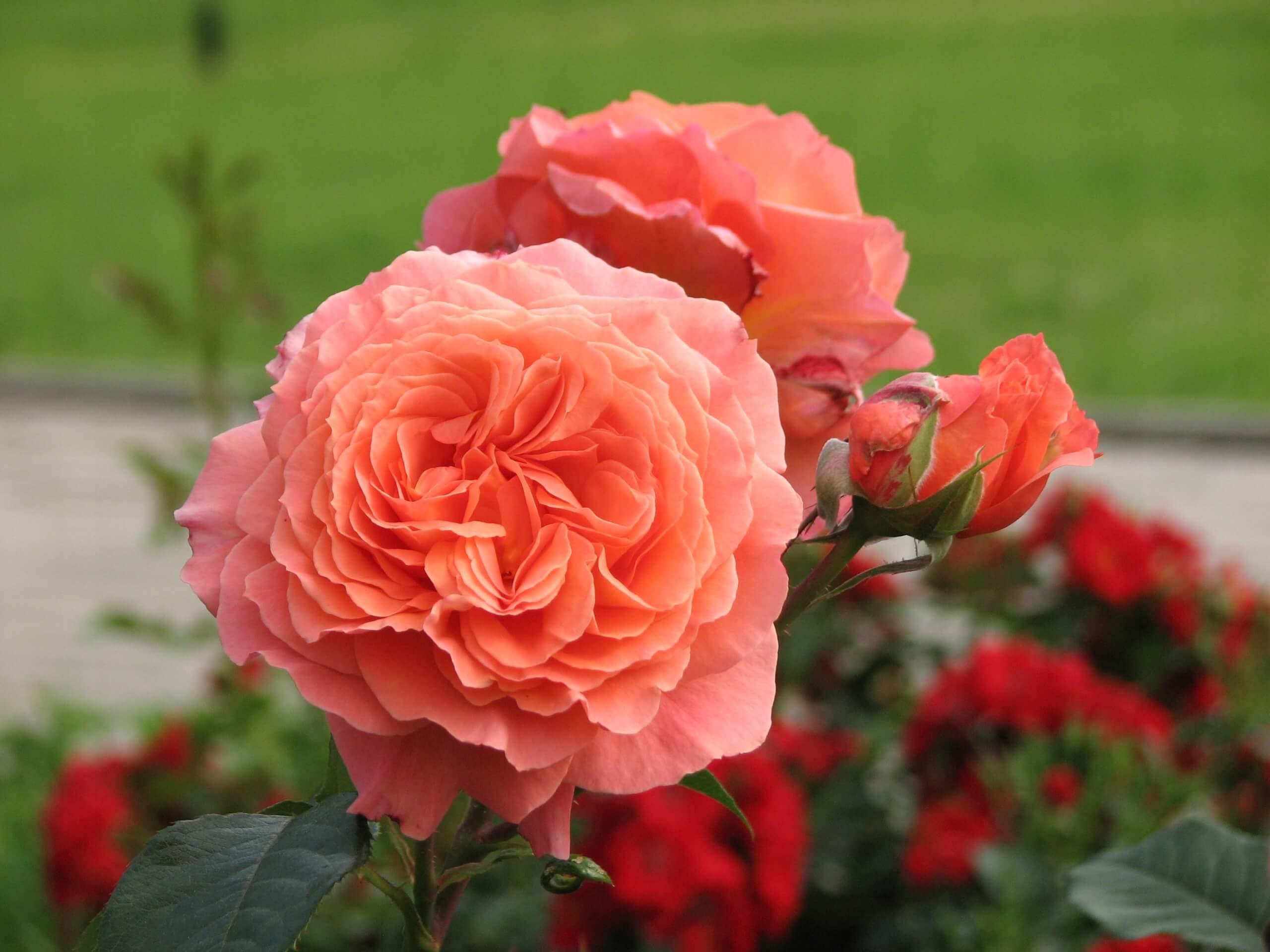 розы шрабы что это с фото для