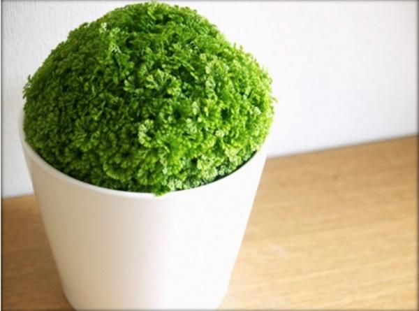Селагинелла 41 фото уход за цветком плаунок в домашних условиях виды комнатного растения мартенса Джори и чешуелистная размножение селагинеллы апода