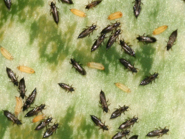Трипсы на комнатных растениях: как бороться с ними и как выглядят вредители на фото