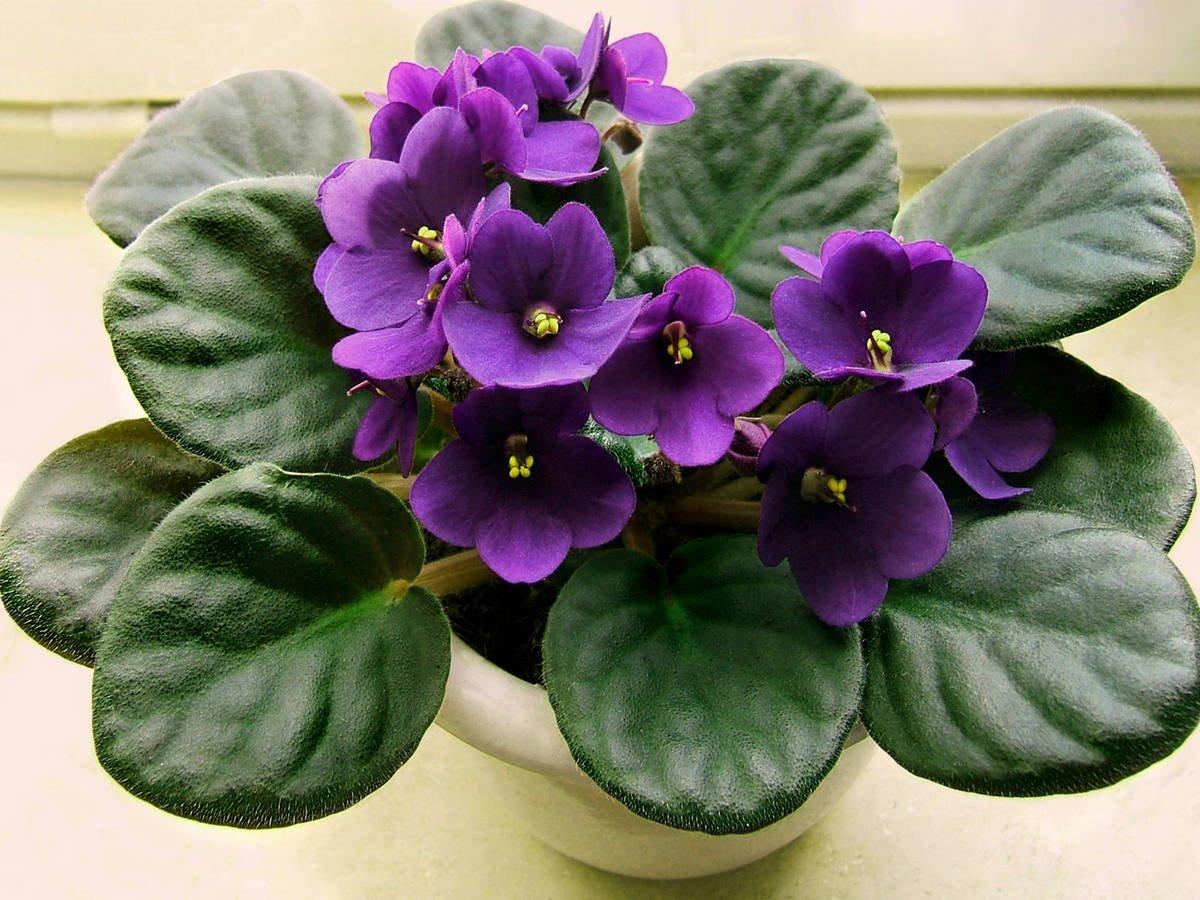 Родина растения фиалки происхождение комнатного цветка Из какой страны родом домашняя узамбарская сенполия