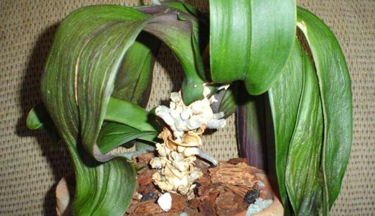 Почему у орхидеи мягкие и вялые листья: что делать