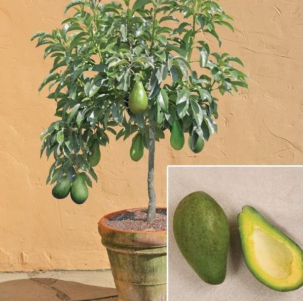 1-vyrashchivanie-avokado-v-domashnih-usl