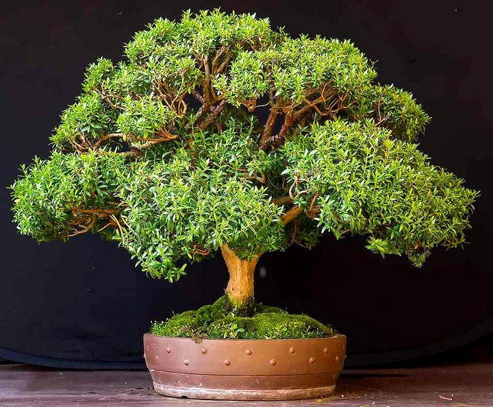 Мирта растение уход