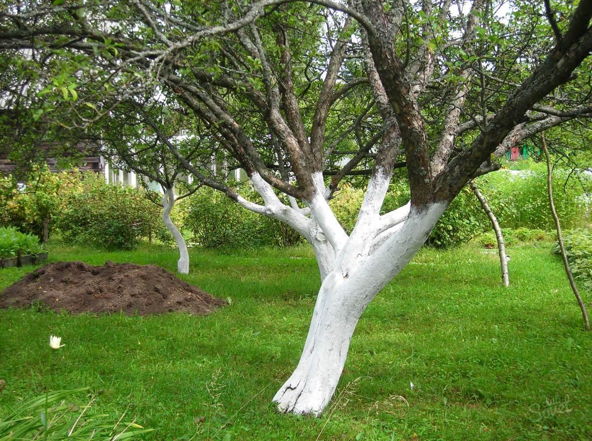 Побелка деревьев, когда белить в саду весной и осенью