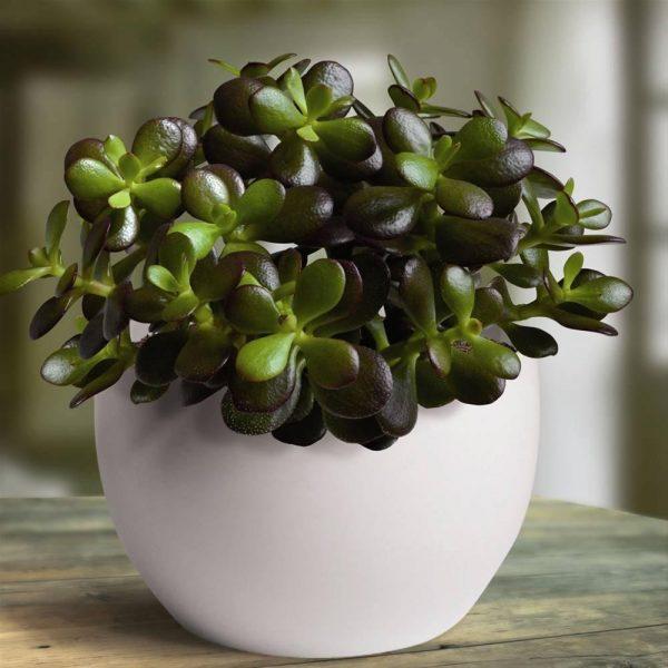 Как называется денежное дерево комнатное растение