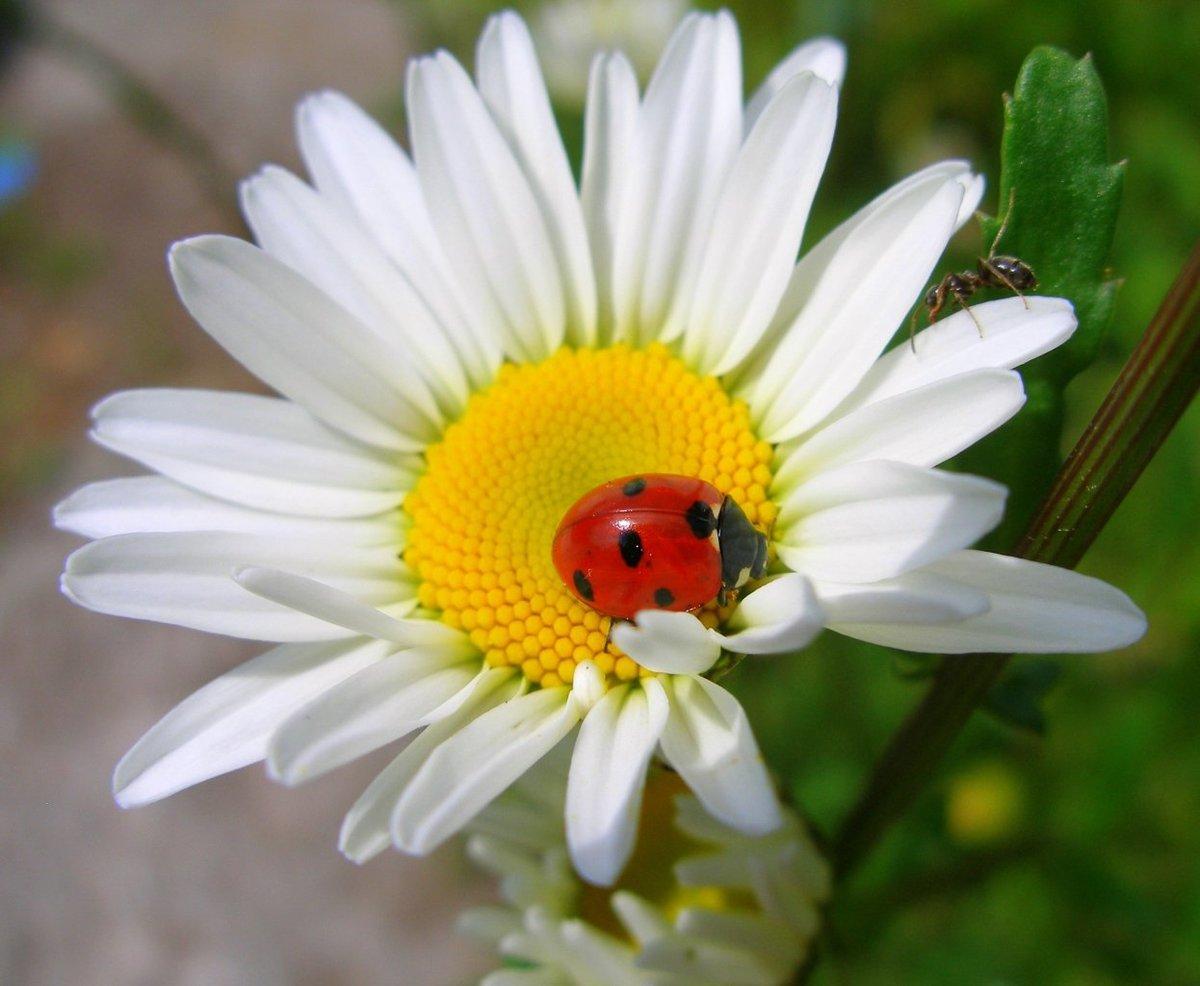 Ромашка садовая крупная многолетняя - выращивание и уход подробно описаны в нашей статье