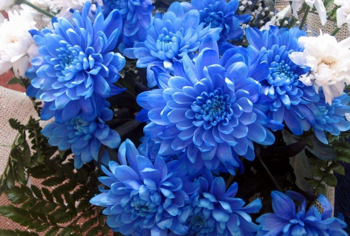 Хризантема Бонтемпи: фото и описание