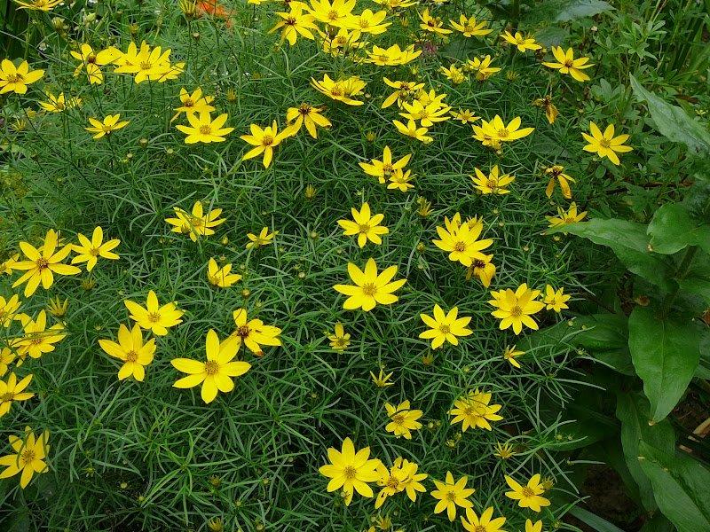 Кореопсис 60 фото посадка и уход в открытом грунте красильный крупноцветковый и ланцетовидный махровые и желтые сорта