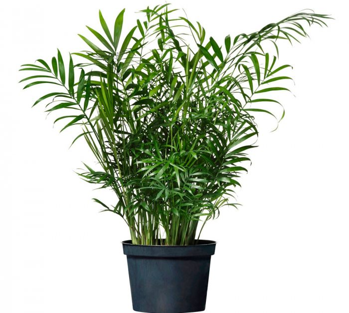 Пальма домашняя — экзотический комнатный цветок