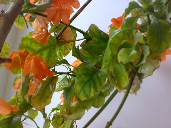 Цветок кроссандра уход и размножение