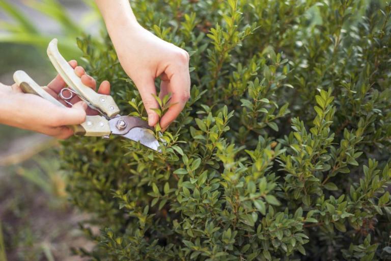 Комнатный мирт- посадка, выращивание и уход в домашних условиях