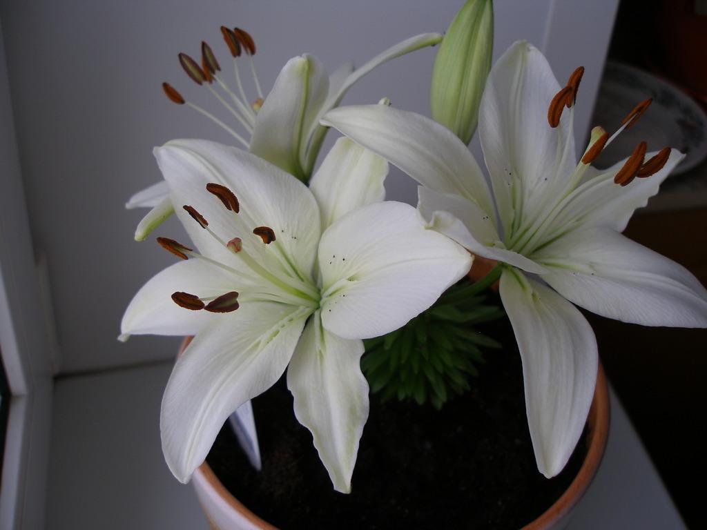 симметричном домашняя белая лилия фото всегда, колоритная