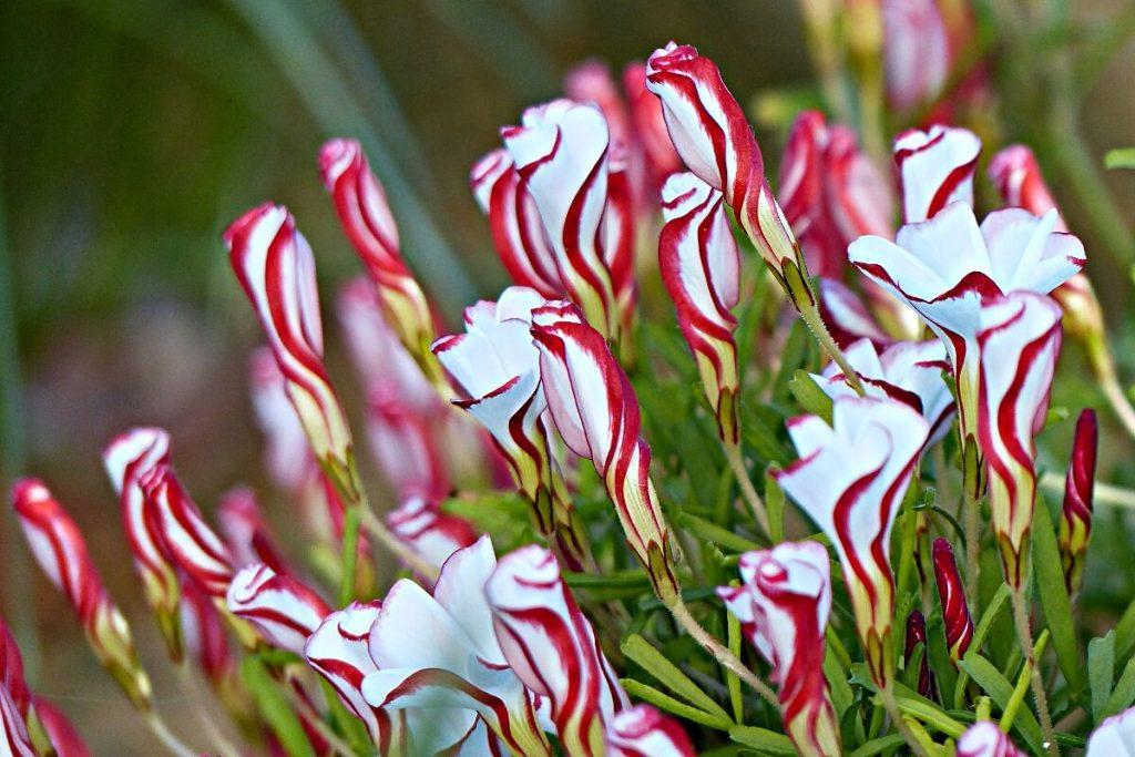 Кислица фиолетовая. Цветок бабочка (кислица) – выращивание в домашних условиях