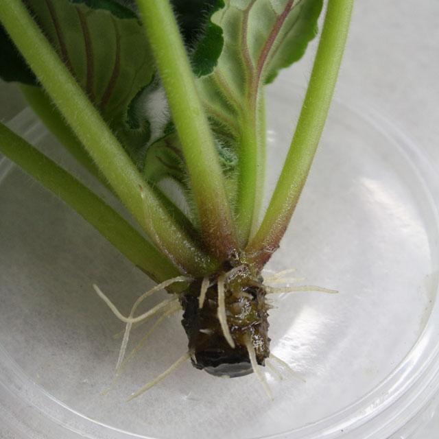 Размножение фиалок листом. Фото. Как размножить фиалку.