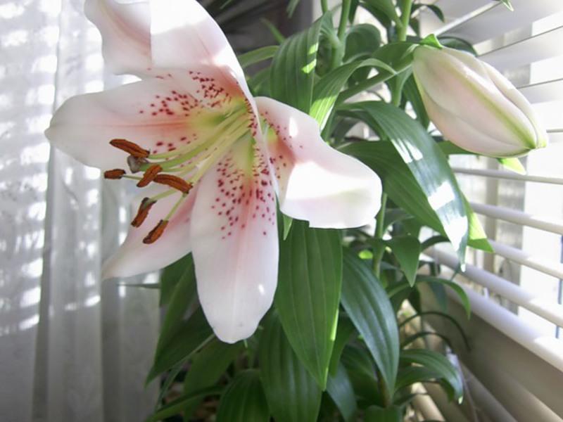 Какие лилии можно выращивать в комнатных условиях?