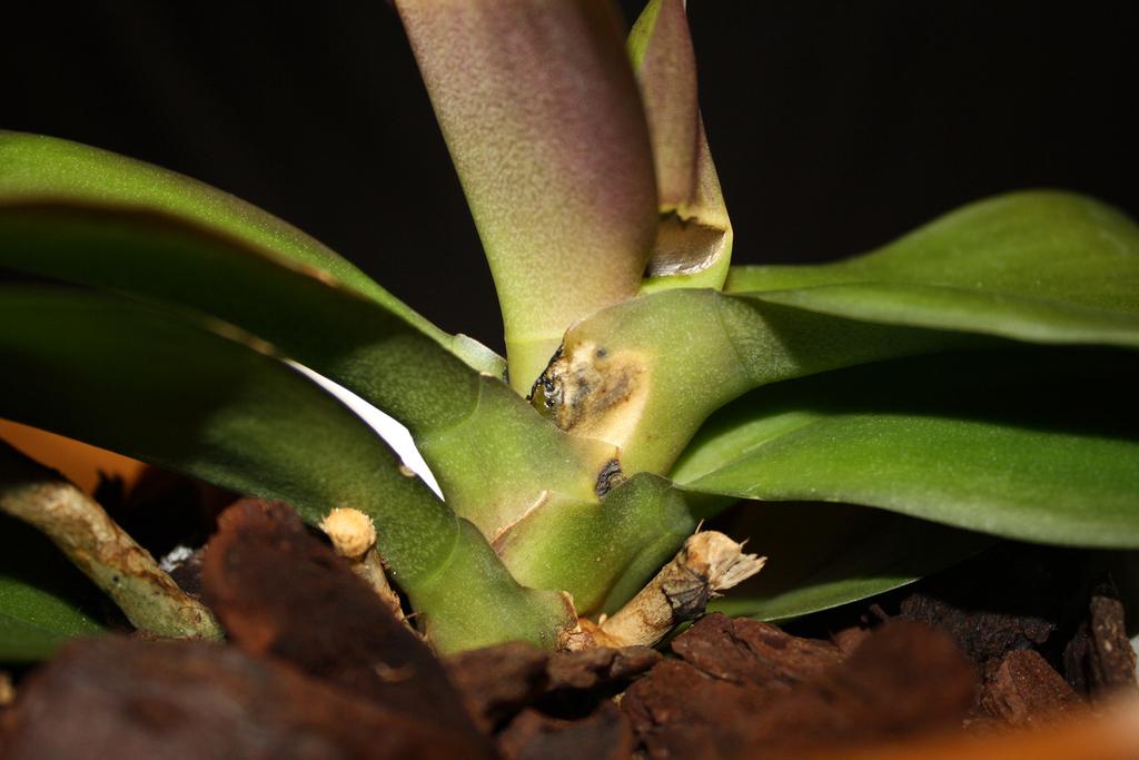 Как спасти орхидею если листья пожелтели