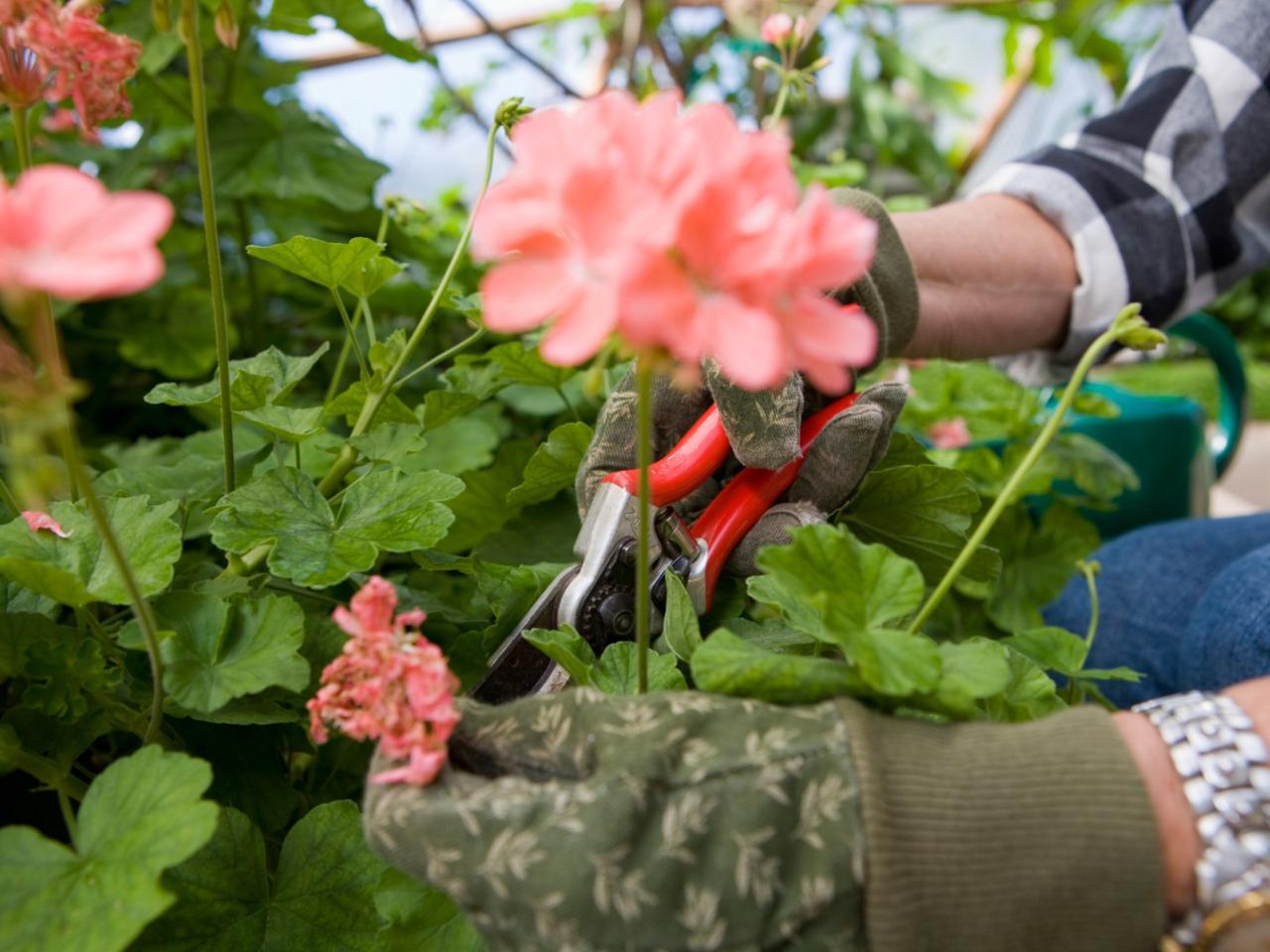 Когда и как правильно обрезать герань для пышного цветения