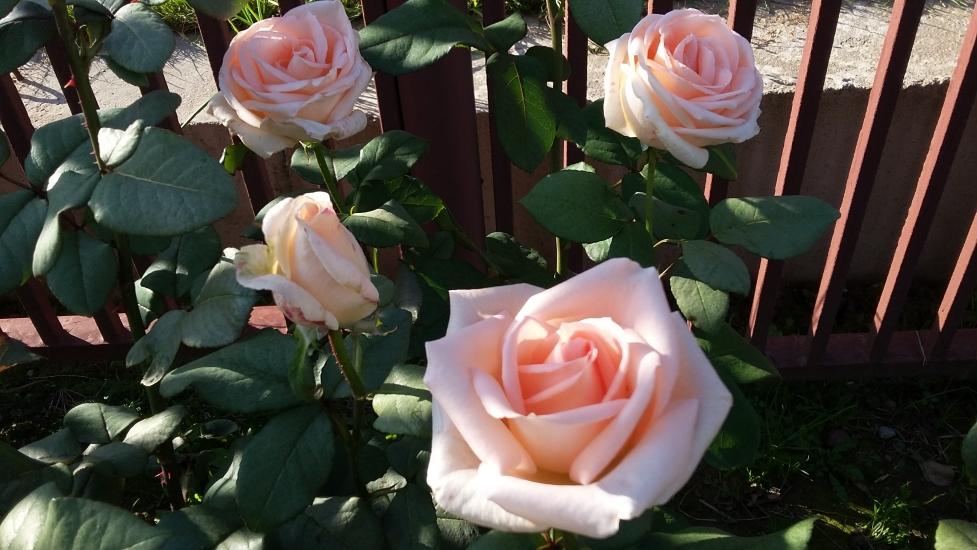 Роза принц описание сорта и характеристики правила посадки и выращивания