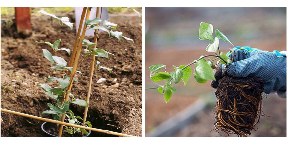 Как пересадить клематис осенью - когда лучше пересаживать весной или осенью