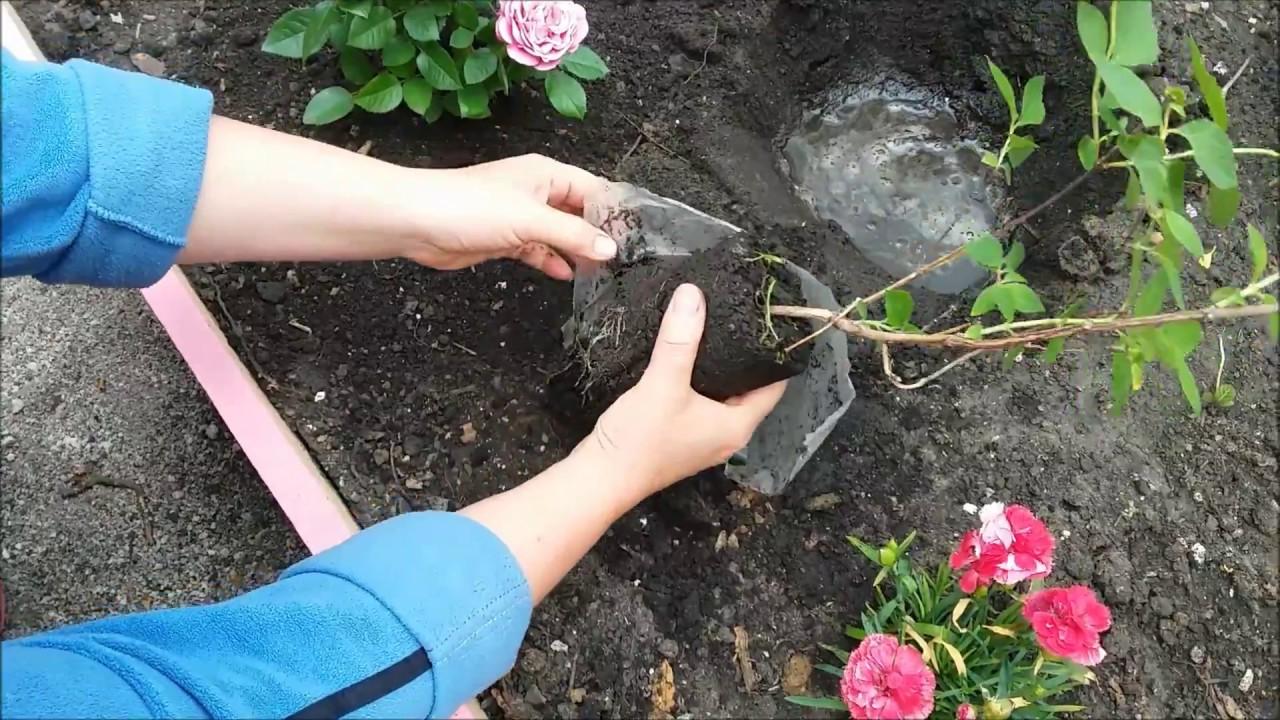 посадка чубушника весной в открытый грунт