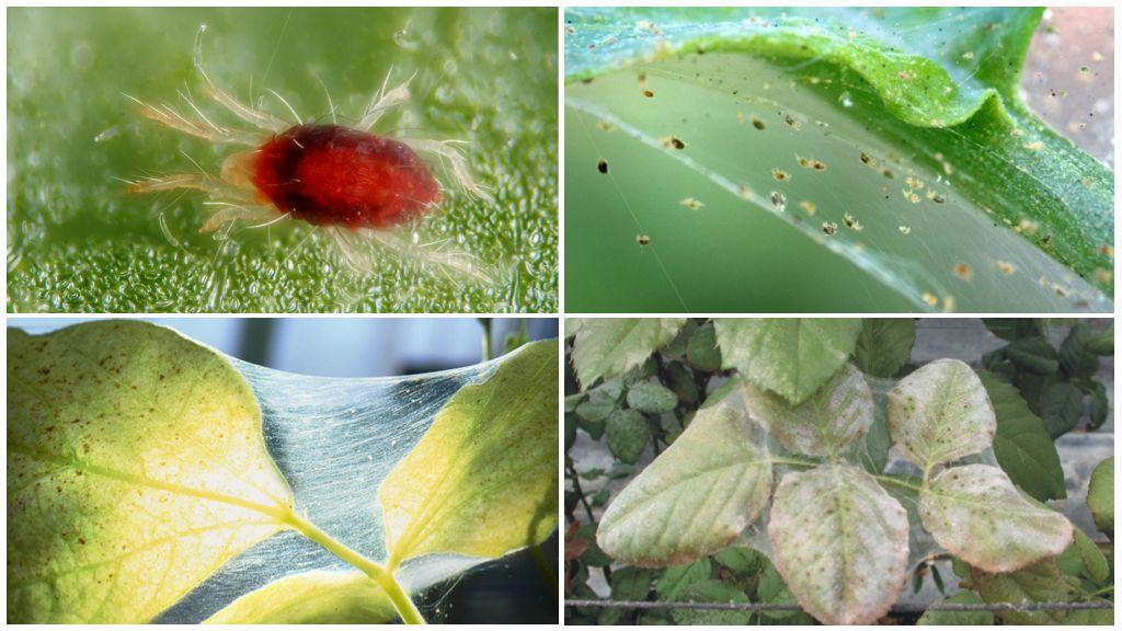 Паутинный клещ на комнатных растениях как выглядит