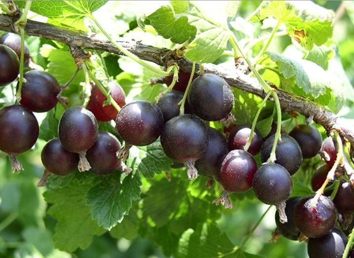 Гибрид смородины и крыжовника йошта  посадка и выращивание