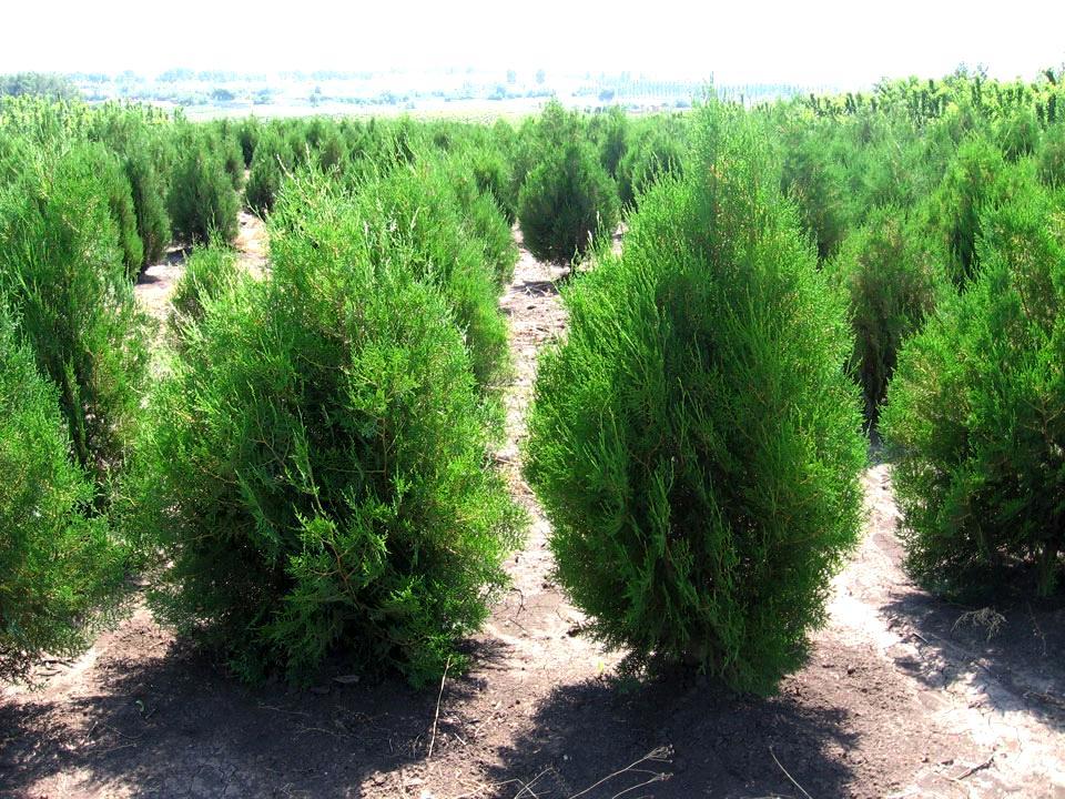 Туя восточная Ауреа нана 17 фото описание сорта посадка и уход использование в ландшафтном дизайне размеры дерева