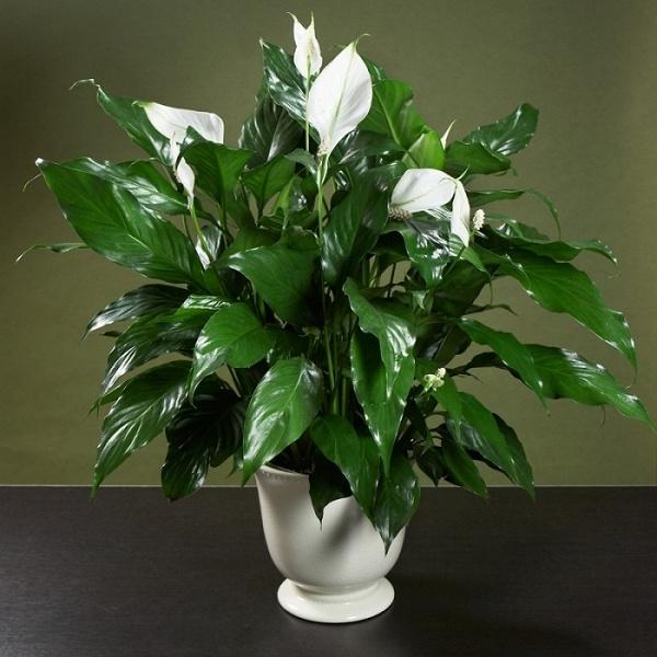 Аглаонема Трейба: описание, как выглядит цветок, фото
