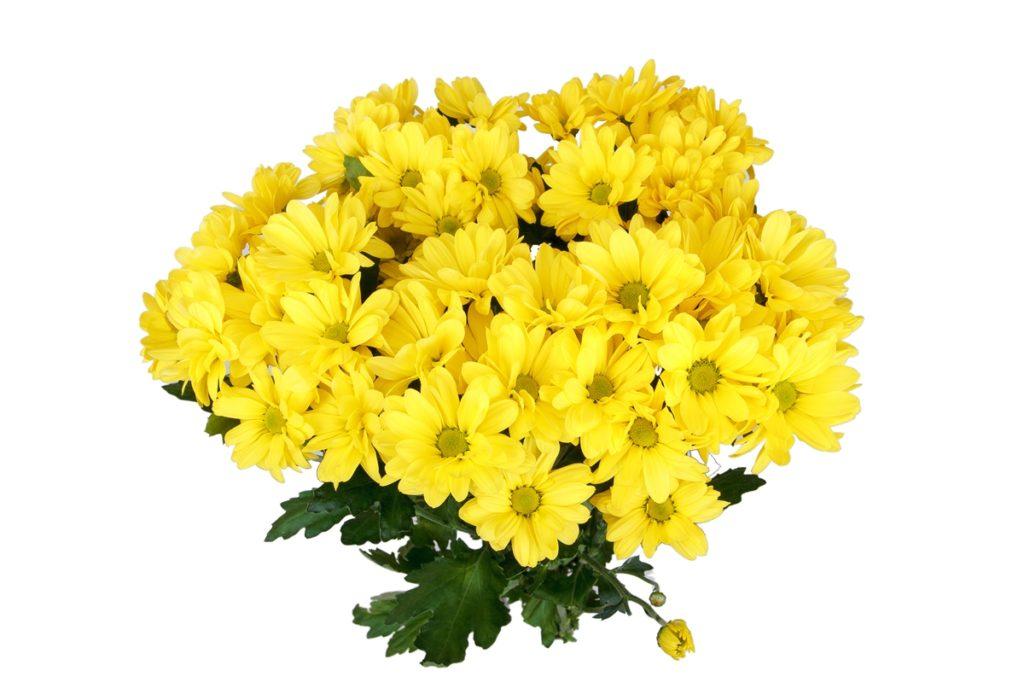 Хризантема Анастасия 29 фото одноголовая хризантема белая желтая зеленая и других цветов