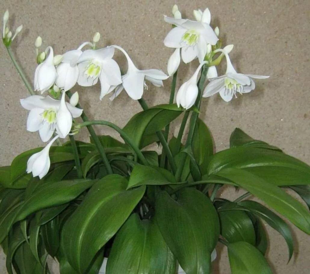 Комнатный цветок с цветами как у лилии