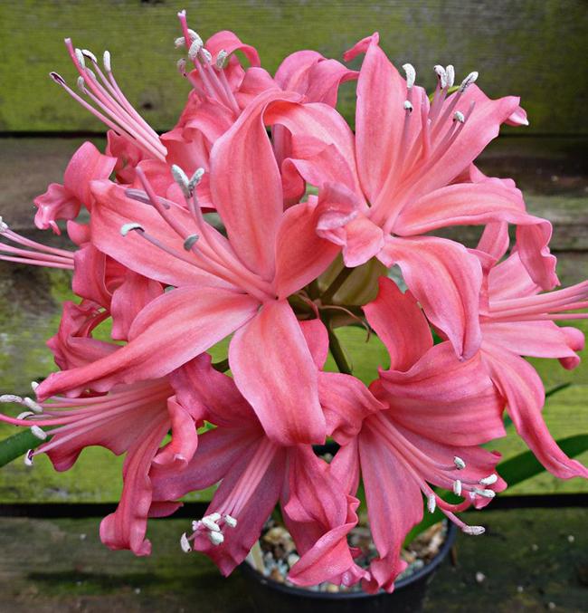 Цветок нерина: посадка и уход в открытом грунте