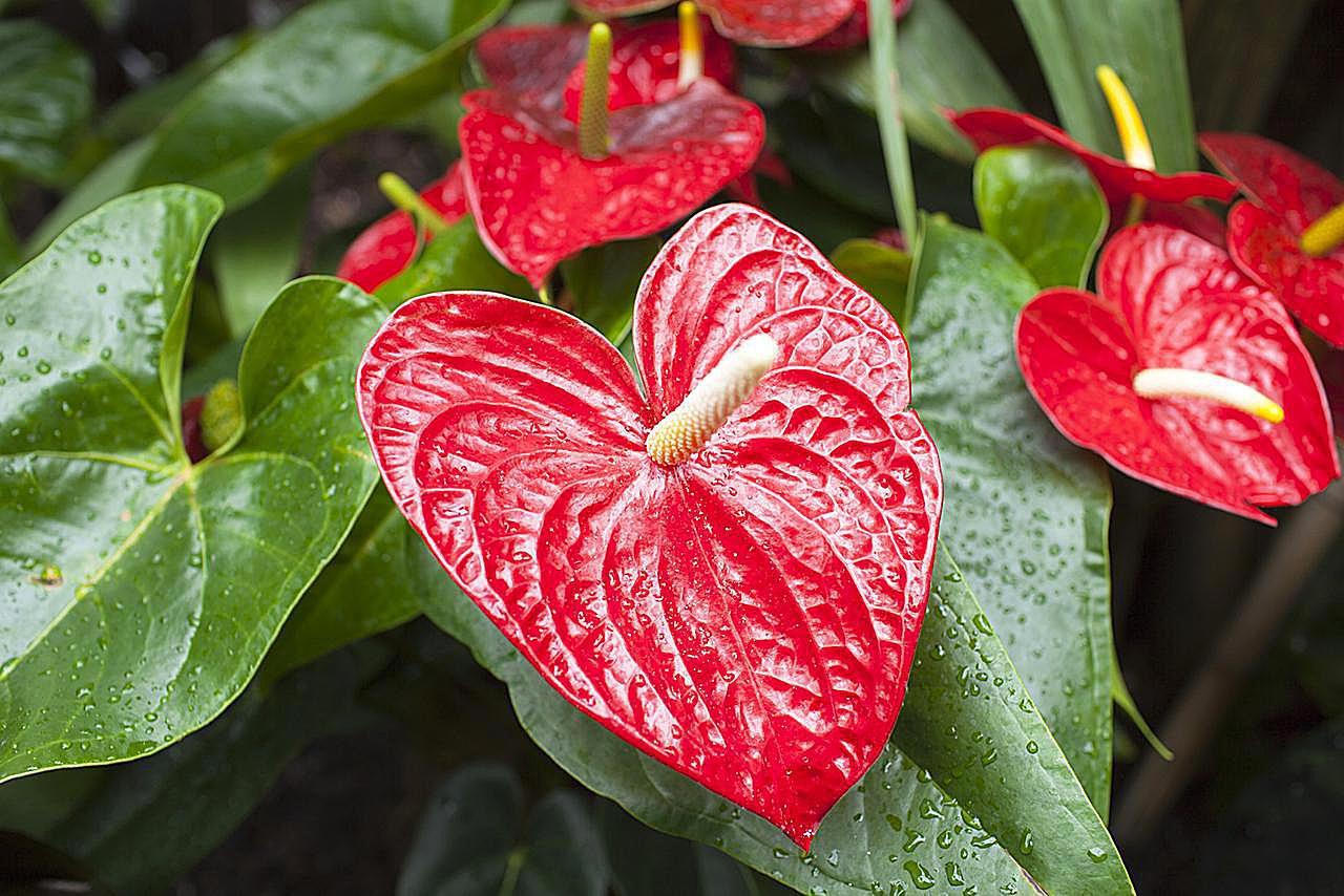 Цветок гузмания: уход в домашних условиях