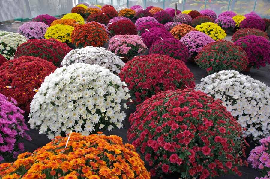Хризантемы садовые виды