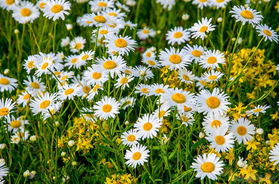 Цветок ромашка фото, описание, применение