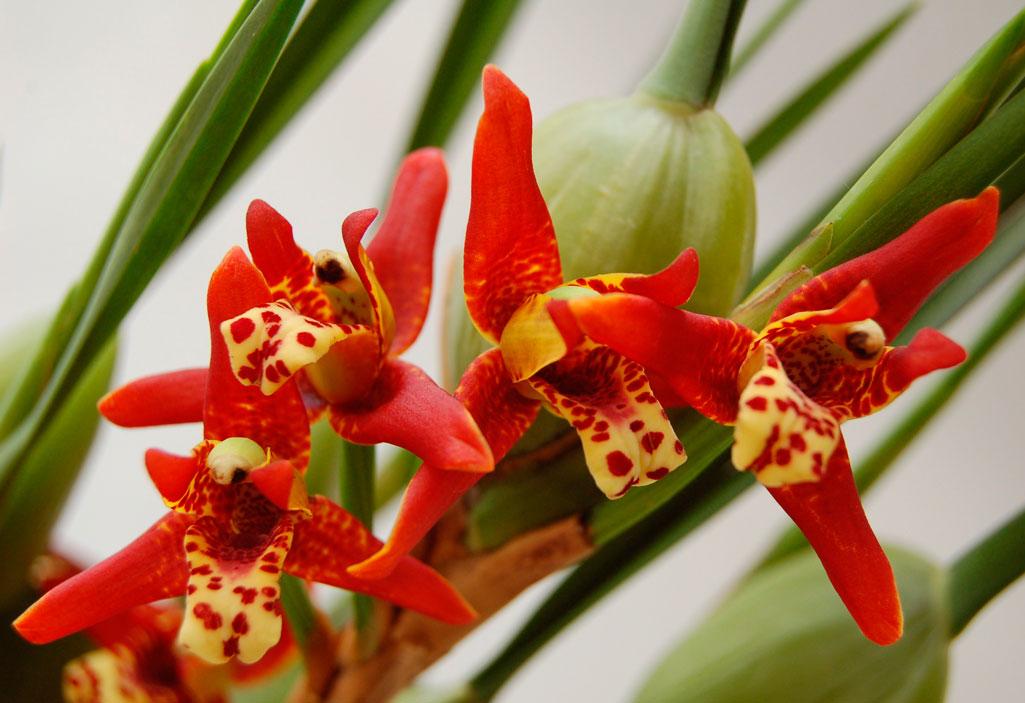 Срезанный цветонос орхидеи что можно сделать