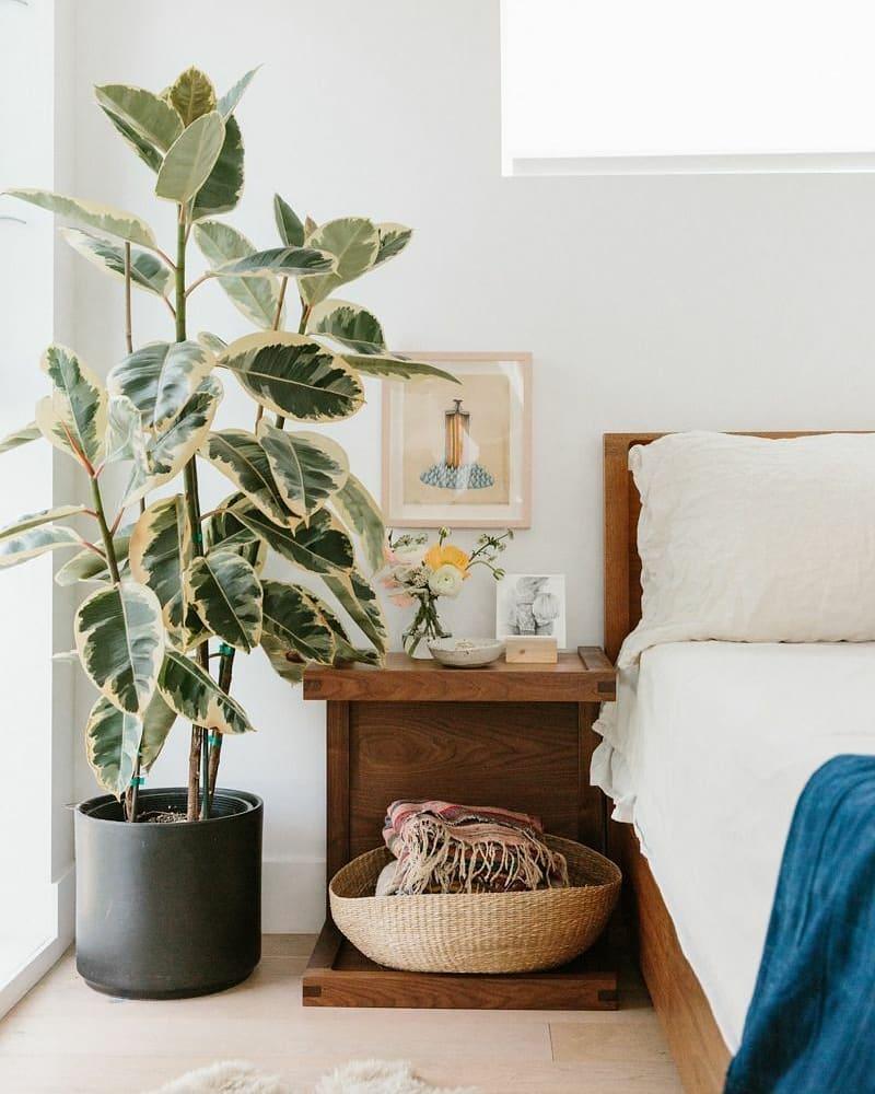 Можно ли держать дома фикус — хорошо это или плохо?