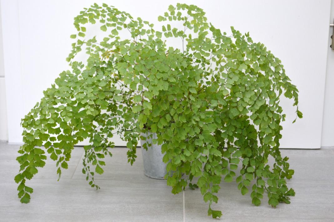 Как выращивать папоротник в квартире зимой