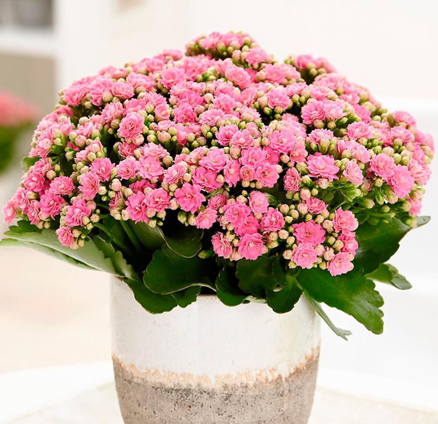 Цветок каланхоэ - лечебные свойства, как использовать каланхоэ в лечебных целях?